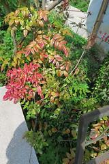 IMG_1970 (CrisMali) Tags: cemetary brightred bellugraveyard everredbush