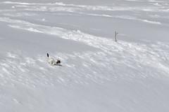 Incontri speciali! (..ric..) Tags: italia neve inverno valledaosta preda granparadiso valsavarenche ermellino