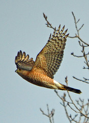 This Cooper's Hawk made my day (ctberney) Tags: orange nature flying fast raptor birdofprey coopershawk accipitercooperii