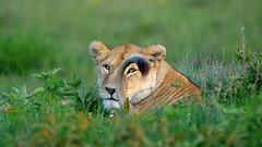 The better to see you with (John Kok) Tags: tanzania ngc lion pantheraleo ndutu serengetiundercanvas nikkor40028vrtc14e2 february2016