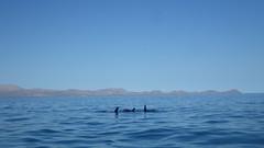 day 9 - paddling wich dolphins (sraanasol) Tags: ocean mexico meer kayak dolphins seakayak bajacalifornia baja kajak delphine seekajak seekajaktour
