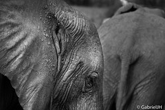 Elephant Eye (GabrielJH) Tags: africa animals nikon kenya african wildlife reserve safari national samburu bigfive d7200