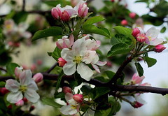 apple-tree (zool18) Tags: macro tree green apple garden spring awesome