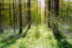Im lichten Wald (mrik) Tags: trees light sunlight green nature canon eos licht natur grn sonne bume beams 6d cmrk cmarik