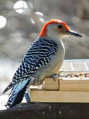 DSCN1320 (sandradorman77) Tags: our red lake woodpecker nj seed budd tray enjoying bellied 022316