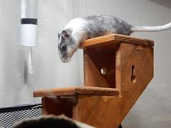 DSCN0795 (therovingeye) Tags: pets gerbil rodents gerbilhabitat
