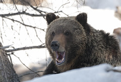 It's Hard Waking Up...Especially on Mondays!! Grizzly Bear Yawn - 2296b2 (teagden) Tags: bear wild snow nature closeup spring nikon wildlife yawn wyoming grizzly boar naturephotography grizz grizzlybear wildlifephotography jenniferhall jenhall grizzlyboar jenhallphotography jenhallwildlifephotography bearyawn springgrizzly