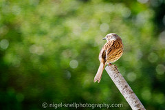 DSC_7107-2 (nigelsnell) Tags: bird birds photo10 ononesoftware dunnockprunellamodularis