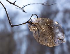 magnolia leaf (marianna armata) Tags: winter light macro tree texture leaf spring lace magnolia seethrough delicate marianna armata lumixstories p2250419