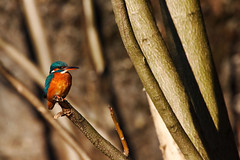 eurasian kingfisher-015 (swissnature3) Tags: nature birds animals wildlife kingfisher eisvogel
