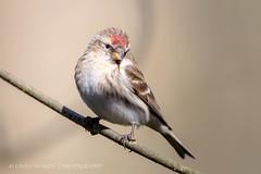 Lesser Redpoll (Linda Martin Photography) Tags: uk nature birds female wildlife ngc hampshire npc lesserredpoll cardueliscabaret coth blashfordlakes canon5dmarklll