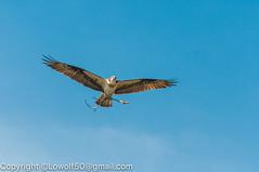 _DSC4798.jpg (orig_lowolf) Tags: usa dog nature oregon nikon flickr osprey lakeoswego turkeyvulture d300s sigma150500mmf563afapodgoshsmtelephotozoom