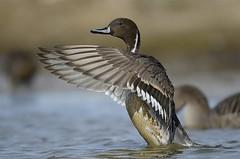 Grafönd - Pintail - Anas acuta (oskar.sigurmundason) Tags: birds island iceland duck nikon ngc birding ducks sigma national anas geographic pintail acuta grafönd d7000 150600