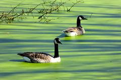 Canada geese on algae pond (Thermaling Girl) Tags: water birds algae canadagoose