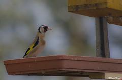 Chardonneret (Daenelyn) Tags: france oiseau chinon indreetloire chardonneret smcda55300mmf458ed pentaxk5