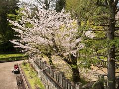 P1590701 (Rambalac) Tags: asia japan lumixgh4 flowers plant sakura азия япония растение сакура цветы
