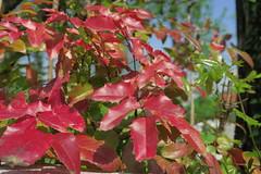 IMG_1953 (CrisMali) Tags: cemetary brightred bellugraveyard everredbush