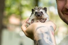 Plop (karin8700) Tags: pet baby tattoo nikon husband hedgehog plop d7100