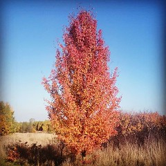 Colors of autmn. (c)2015_t.t.a.b. - #ttab... (Tomski TTABOGRAPHY) Tags: trip autumn red tree colors field leafs ano sunnyday julcia tomski ttab treemagic uploaded:by=flickstagram anopanka instagram:photo=11030484235396084771484642177 klobuckcounty tomskijr ttabography anoprojekt panatommedia