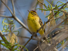 Yellow Palm Warbler (grobinette) Tags: warbler palmwarbler explored occoquanbaynationalwildliferefuge