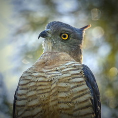 a pacific baza (Fat Burns  (gone bush)) Tags: bird fauna hawk brisbane baza australianbird australianfauna oxleycommon oxleycreek pacificbaza avicedasubcristata oxleycreekcommon mediumsizedhawk longtailedhawk nikond610