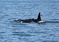 ew20160425 DSC_3747 -1 (Selena Rhodes Scofield Photography) Tags: orca killerwhales jpod southernresidentkillerwhales selenarhodesscofieldphotography