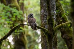 Barred Owl in the Forest (OwlPurist) Tags: oregon portland barredowlstrixvaria