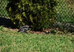 Starling in flight...tourneau sansonnet en vol (Bob (sideshow015)) Tags: spring nikon 7100 flight starling vol tourneau sansonnet d7100