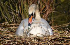 HOUSEWORK By Angela Wilson (angelawilson2222) Tags: bird swan nesting muteswan