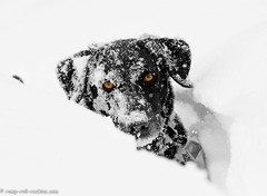 Deep Snow (KB RRR) Tags: dog snow colorado rockymountains frontrange chocolatelabrador shyla