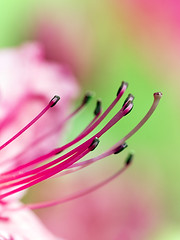 Stamen of Azalea (Johnnie Shene Photography(Thanks, 1Million+ Views)) Tags: pink people plant blur flower colour macro floral vertical closeup canon lens wonder photography eos rebel living daylight spring interesting flora focus scenery kiss day view image outdoor no background side scenic tranquility scene 11 depthoffield stamen half flowering azalea colourful pollen magnified awe length tamron 90mm viewpoint f28 tranquil adjustment freshness foreground t3i x5 organism   fragility  600d