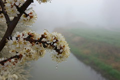 So much beauty in the world (brittajohansson) Tags: morning flowers mist flower beauty fog early dewdrops droplets drops spring outdoor dew hawthorn