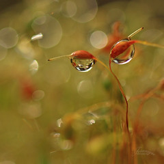 The two of us (Teranique Impressions) Tags: macro nature water rain garden moss drops flora bokeh drop raindrops waterdrops macrophotography druplets teranique teraniqueimpressions