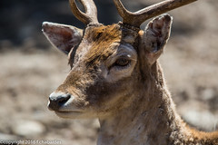 Daim_160624_Les Angles (f.chabardes) Tags: france fallowdeer animaux avril roussillon daim damadama 2t mammifres cervinae parcanimalier cervids artiodactyles pladelmir lecapcir