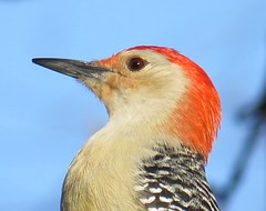 Mr. Red-bellied Woodpecker (joanspictures1) Tags: portrait minnesota wildlife canonpowershot champlin birdsofminnesota maleredbelliedwoodpecker residentbird mrredbellied