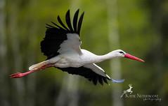 White Stork Flyby (Katie Nethercoat Photography) Tags: white bird nature flying nikon europe wildlife poland bialowieza stork