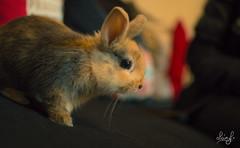 Calypso (ALAiN_FAURE) Tags: rabbit animal animals nikon little bokeh adorable animaux lapin flou petit mignon lapinou calyspo d3200
