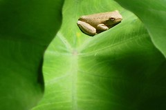 Between the Leaves. (joelleheaven) Tags: nature amphibian frog australianwildlife