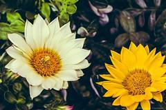 Flowers... (Eleonora Cacciari) Tags: flowers flower nature colore natura fiori fiore colori emiliaromagna allaperto delicati eos1200d eleonoracacciari
