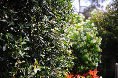 laurier (Tom Anirae) Tags: sun colors contrast garden outside 50mm shiny bokeh 14 vegetation nippon nikkor laurier kogagku