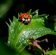 Keep Moving Human. (Omygodtom) Tags: wild abstract macro nature oregon bug garden insect outdoors nikon natural bokeh ladybug animalplanet tamron90mm d7100
