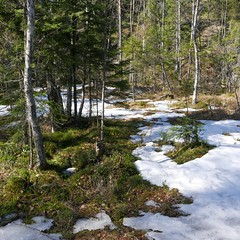 Luukki (jiihaa) Tags: snow tree ice forest finland landscape spring lx100