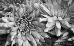 Crisantemo B/W (F.Guirado) Tags: flower blancoynegro fleur 50mm blackwhite flor abril nik stm chrysanthemum crisantemo 2016 canon50mm 7dmkii