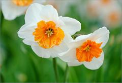 (tehhyvredina) Tags: flowers macro garden spring bokeh moscow botanicgarden narcissus     canonef100mmf28usmmacro   apothecarygarden  fujifilmxe1