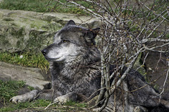 Wolf behind the bush (Tambako the Jaguar) Tags: portrait dog black germany zoo bush nikon wolf branches profile gray canine hannover canadian resting hanover lying observing timberwolf d4 canid