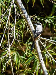 Long-tailed Shrike (Mike Prince) Tags: india birds aves tamilnadu masinagudi laniusschach longtailedshrike junglehut shrikes laniidae