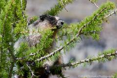 Marmot in a tree (fascinationwildlife) Tags: park wild summer mountain canada tree nature animal mammal wildlife natur alpine national banff marmot kanada murmeltier