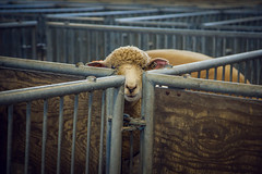cornered (Jen MacNeill) Tags: animals corner pen sheep pennsylvania farm symmetry pa symmetrical curious pens harrisburg farmshow 2016 pennsylvaniafarmshow