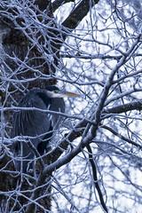 Blue Heron-1 (matthew.snyder54) Tags: winter river baldeagle eagles northcascades skagitriver