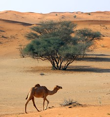 Desert Scene (gordontour) Tags: animals desert uae arabia environment camels rak unitedarabemirates rasalkhaimah